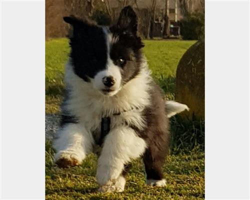 Vendita Border Collie a Massa
