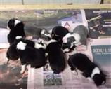 Border Collie a Alessandria