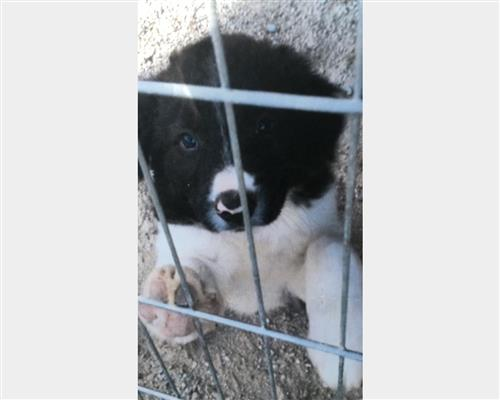 Vendita Border Collie a Cuneo
