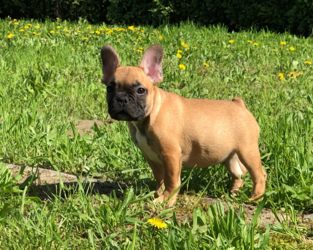 Bouledogue bouledogue francese cuccioli fulvi vendita for Bouledogue francese