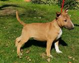 Bull Terrier a Lucca
