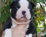 Boston Terrier a Pavia