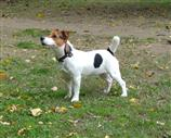 Jack Russell a Foggia