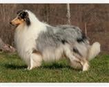 Collie a Vicenza