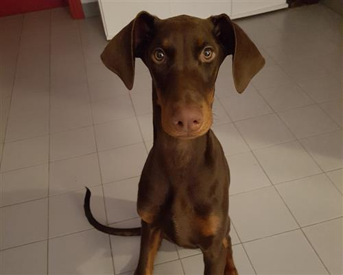 Cucciolo di Dobermann  MARRONE FOCATO maschio marrone , pelo  corto , mantello  marcature (markings)