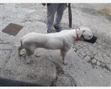 Dogo Argentino a Vicenza