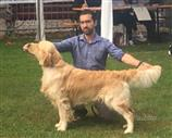 Golden Retriever a Savona
