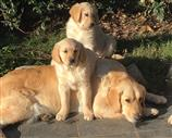 Golden Retriever a Potenza