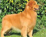 Golden Retriever a Udine