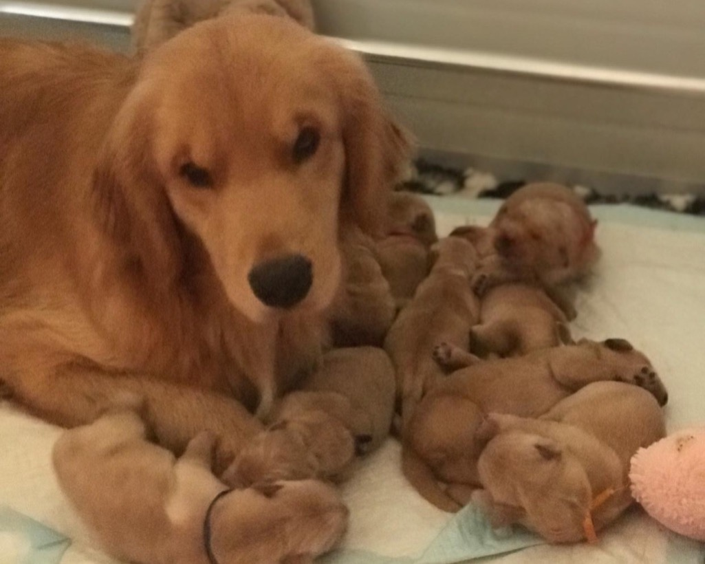 Cuccioli Di Golden Retriever In Emilia Da Allevatori Italiani