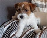 Jack Russell a Brescia