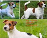 Jack Russell a Milano