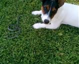 Jack Russell a Como