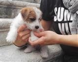 Jack Russell a Pordenone