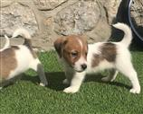 Jack Russell a Pistoia