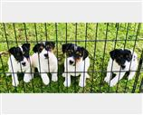 Jack Russell a Belluno