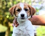 Jack Russell a Viterbo