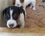Jack Russell a Matera