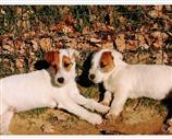 Jack Russell a Siena