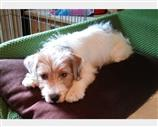 Jack Russell a Cremona
