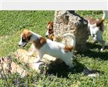 Jack Russell a Frosinone