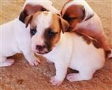 Jack Russell a Trapani