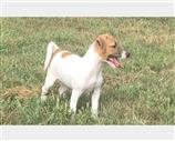 Jack Russell a Alessandria