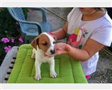 Jack Russell a Caserta