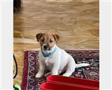 Jack Russell a Pisa