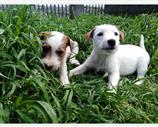 Jack Russell a Avellino