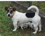 Jack Russell a Vicenza