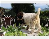 Lagotto a Firenze
