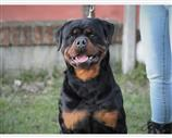 Rottweiler a Alessandria