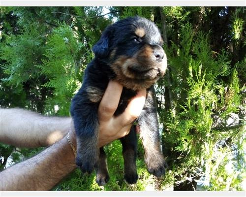 Cucciolo di Rottweiler  maschio e femmina nero , pelo  liscio , mantello  marcature (markings) e mantello doppio (double coated)
