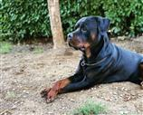Rottweiler a Arezzo