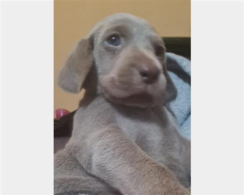 Cucciolo di Weimaraner  a pelo corto maschio e femmina , pelo  corto , mantello  uniforme (solid) e fitto (close fitting)