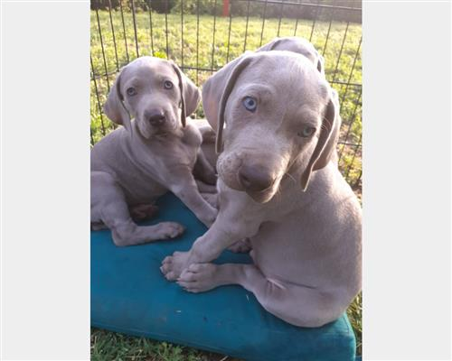 Cucciolo di Weimaraner  a pelo corto maschio e femmina grigio , pelo  corto , mantello  fitto (close fitting)