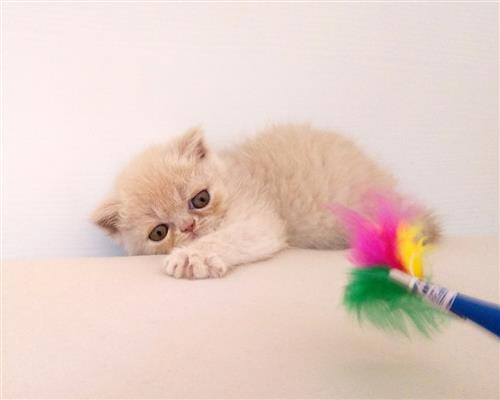 Gattino Exotic Shorthair  femmina