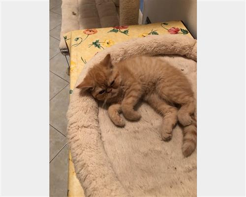 Gattino Exotic Shorthair  maschio , pelo  corto