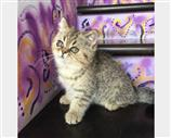 Exotic Shorthair a Nuoro