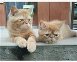 Exotic Shorthair a Treviso