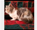 Exotic Shorthair a Pescara
