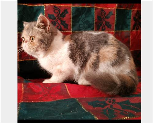 Gattino Exotic Shorthair  maschio e femmina arlecchino arlecchino , pelo  corto , mantello  bicolore (double color)