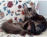 Maine Coon a Vicenza