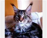 Maine Coon a Arezzo