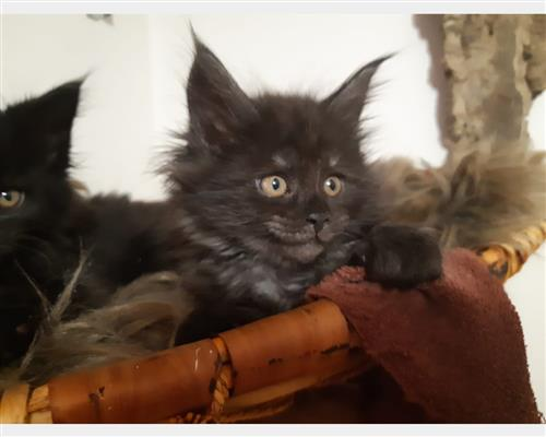 Gattino Maine Coon  femmina