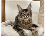Maine Coon a Roma