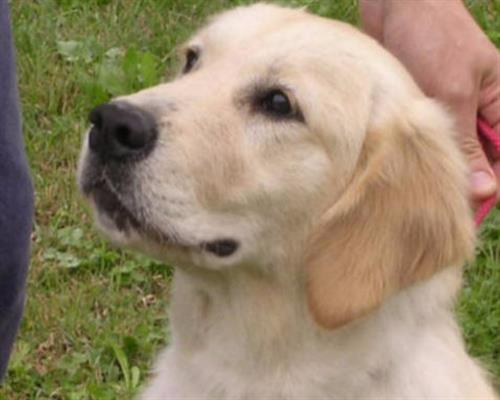 Golden Retriever Cuccioli Vendita Golden Retriever A Reggio Emilia