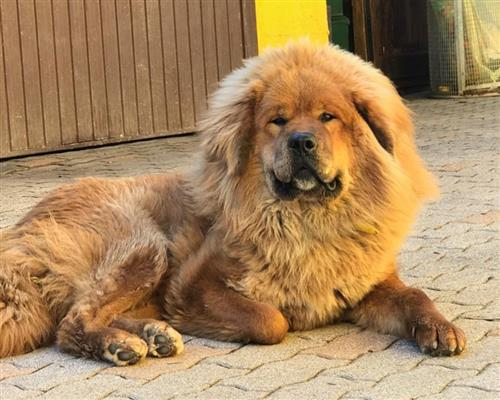 Tibetan Mastiff  femmina fulvo , mantello  fitto (close fitting)